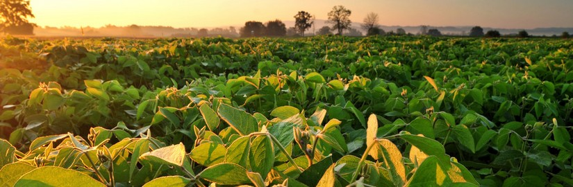 564591992_Soybean-field-at-sunrise.jpg